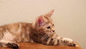 Śliczny mały kot męczący zdjęcie wideo