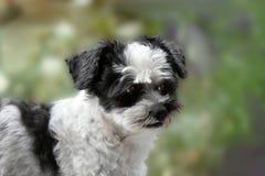 Śliczny mały kundla pies z dużymi oczami zdjęcie royalty free