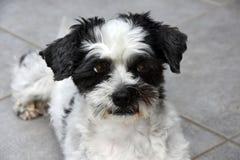 Śliczny mały kundla pies z dużymi oczami obraz royalty free