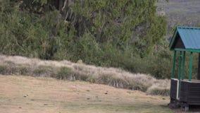 Śliczny mały nieśmiały roe rogacza bieg w stepowym dżungla lesie góry Kenja park narodowy w dzikiej naturze w 4k zdjęcie wideo