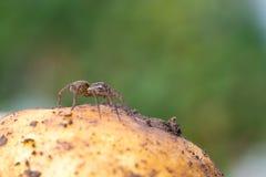 śliczny mały pająk Zdjęcie Royalty Free
