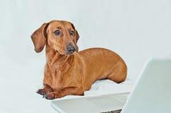 Śliczny mały pies patrzeje laptopu ekran Zdjęcie Royalty Free