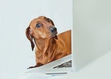 Śliczny mały pies patrzeje z ironią przy camer z laptopem Fotografia Royalty Free