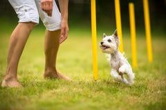 Śliczny mały pies robi zwinność świderowi - biegać slalom fotografia stock