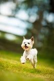 Śliczny mały pies robi zwinność świderowi - biegać slalom obraz royalty free