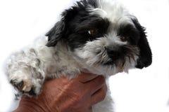 Śliczny mały pies z dużymi oczami obraz stock