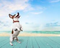 Śliczny mały psi Jack Russell terier na tle Obrazy Royalty Free