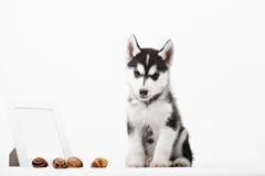 Śliczny mały siberian husky szczeniak Obraz Stock