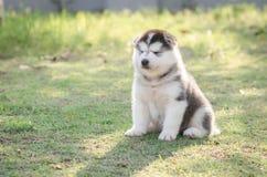 Śliczny mały siberian husky szczeniaka obsiadanie i zamyka oczy fotografia royalty free