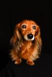 Śliczny mały szczeniaka pies na czarnym tle obrazy royalty free