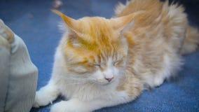 Śliczny Maine Coon kot zdjęcie wideo