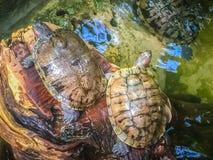 Śliczny Malujący terrapin żółw ten czoło (Batagur borneoensis) Obrazy Stock