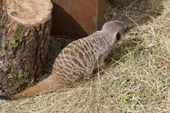 Śliczny meercat Zdjęcia Royalty Free