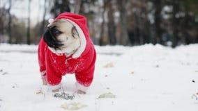 Śliczny mops w Święty Mikołaj kostiumu pozycji w śniegu w zima parku boże narodzenie nowy rok szczęśliwy wesoło zdjęcie wideo