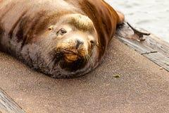 śliczny półsenny sealion patrzeje w górę drzemki na doku od obraz stock