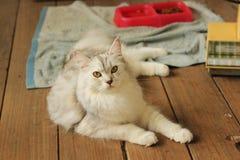 Śliczny pers plus Maine coon kota lying on the beach na drewnianej podłoga w domu Zdjęcia Royalty Free