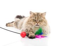 Śliczny perski kot bawić się zabawkę zdjęcie stock