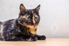 Śliczny piękny kot w domu Obrazy Royalty Free