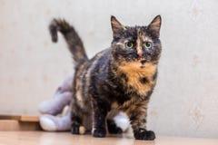 Śliczny piękny kot w domu Zdjęcie Royalty Free