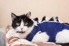 Śliczny piękny kot z bandażem w domu Fotografia Stock