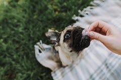 Śliczny pies je jedzenie z ręką jego właściciel obraz stock