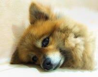 Śliczny pies jest relaksujący Zdjęcie Stock