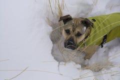 Śliczny pies jest ubranym jego zima żakiet w śniegu Zdjęcia Royalty Free