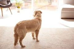 Śliczny pies na lekkim dywanie zdjęcia royalty free