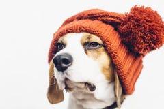 Śliczny pies w ciepłym pomarańczowym kapeluszu Zdjęcia Stock