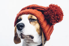 Śliczny pies w ciepłym pomarańczowym kapeluszu Obrazy Royalty Free