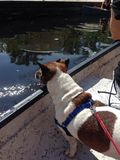 Śliczny pies w czółnie na wekiva rzece fl obraz royalty free