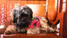 Śliczny pies w piękny sukienny kłaść w dół na drewnianym krześle zbiory