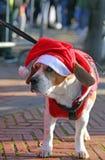 Śliczny pies z Red Hat Święty Mikołaj Zdjęcie Royalty Free