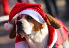 Śliczny pies z Red Hat Święty Mikołaj przy bożymi narodzeniami Fotografia Royalty Free