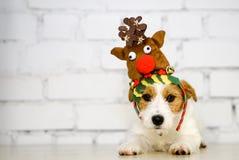 Śliczny pies z reniferowymi poroże Chrystus masy pies przy bielem Fotografia Stock