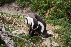 Śliczny pingwin przy głaz plażą, Południowa Afryka Zdjęcia Royalty Free