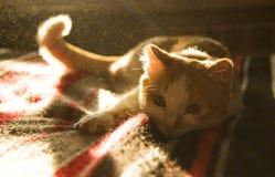 Śliczny pomarańcze i bielu kota zakończenie w górę lying on the beach w świetle słonecznym Obrazy Stock