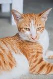 Śliczny pomarańczowy krótkiego włosy siamese kot Fotografia Royalty Free