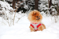 Śliczny pomeranian pies w zima lasu psie w śnieżnym lasowym Mądrym psie Obraz Stock