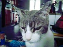 Śliczny popielaty i biały kot gniewny obraz stock