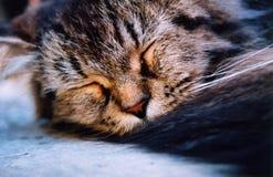 Śliczny popielaty kot śpi pokojowo zdjęcia stock