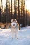 Śliczny, potomstwo i bezpłatny Syberyjski husky, jest prześladowanym pozycję na śniegu w tajemniczym zima lesie przy zmierzchem zdjęcia stock