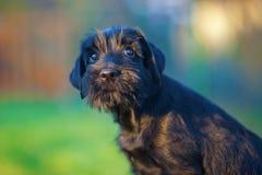 śliczny przyglądający szczeniaka schnauzer standard przyglądający Fotografia Royalty Free
