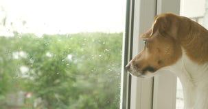Śliczny psi dźwigarki Russell teriera lying on the beach na okno zbiory wideo