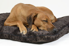 Śliczny psi dosypianie na jego łóżku Zdjęcia Stock