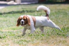 Śliczny psi królewiątka Charles pies przy parkiem Zdjęcie Stock