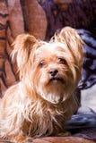 śliczny psi mały terier Zdjęcia Stock