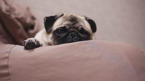 Śliczny psi mops kłama na krzesło torbie, zmęczony i spokojny Spada uśpiony zbiory wideo