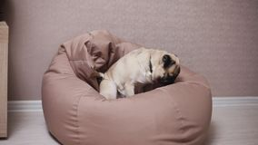 Śliczny psi mops siedzi na krzesło torbie, zmęczony i spokojny zbiory wideo