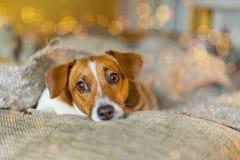 Śliczny psi odpoczywać pod wełny koc zdjęcie royalty free